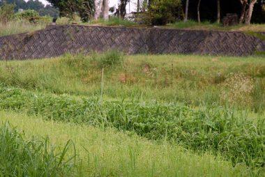 草に埋もれて里芋の葉がが見えない