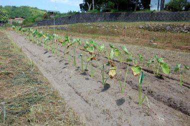管理機で畝間の土を上げる