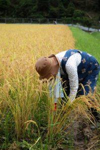 田植にも稲刈にも十数年おやつを持って手伝いに来てくれるハルさん
