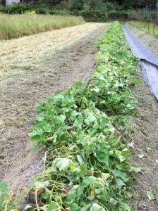 ➀畝のマルチを剥がす ②バックホーが入れるように草刈 ③芋ずるを切ってハンマーモアにかけ裁断する