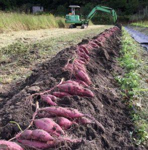 バックホーで畝の土をほぐし手で抜き取る