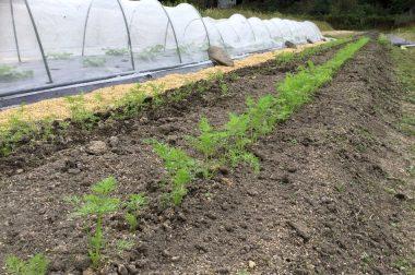 米ぬかボカシ撒いて間引きと中耕除草